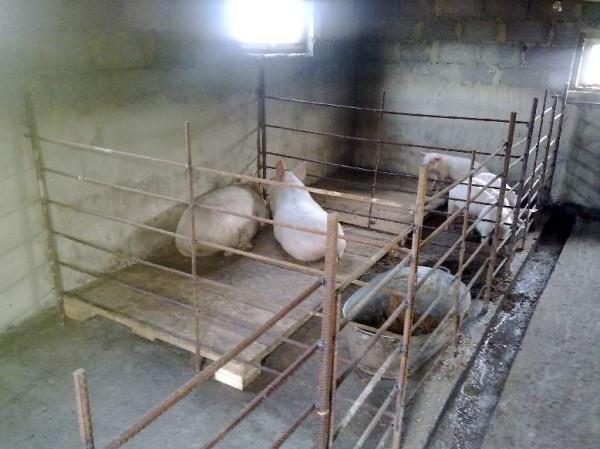 Загон для свиней своими руками 43
